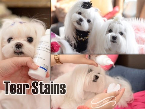GROOMING: Maltese Grooming How to Clean Tear Stains for Maltese  Butler Schein Solution Henry Schein