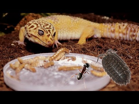 FEEDING TIME FOR GECKOS & INVERTS!