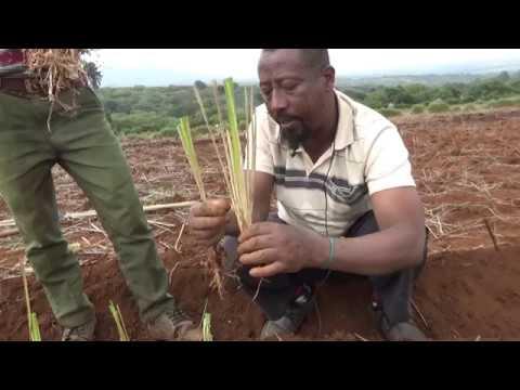 Limu Seka vetivar plantation 1