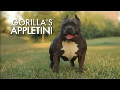 IS THIS BEST AM BULLY FEMALE EVER PRODUCED??? - GR CH APPLETINI - RE UP