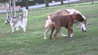Wolfdog at the dog park (watch in HD)
