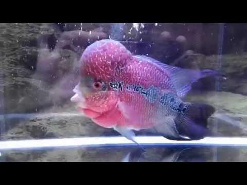 Aquarium Water Change - Match Temperature (for flowerhorn)