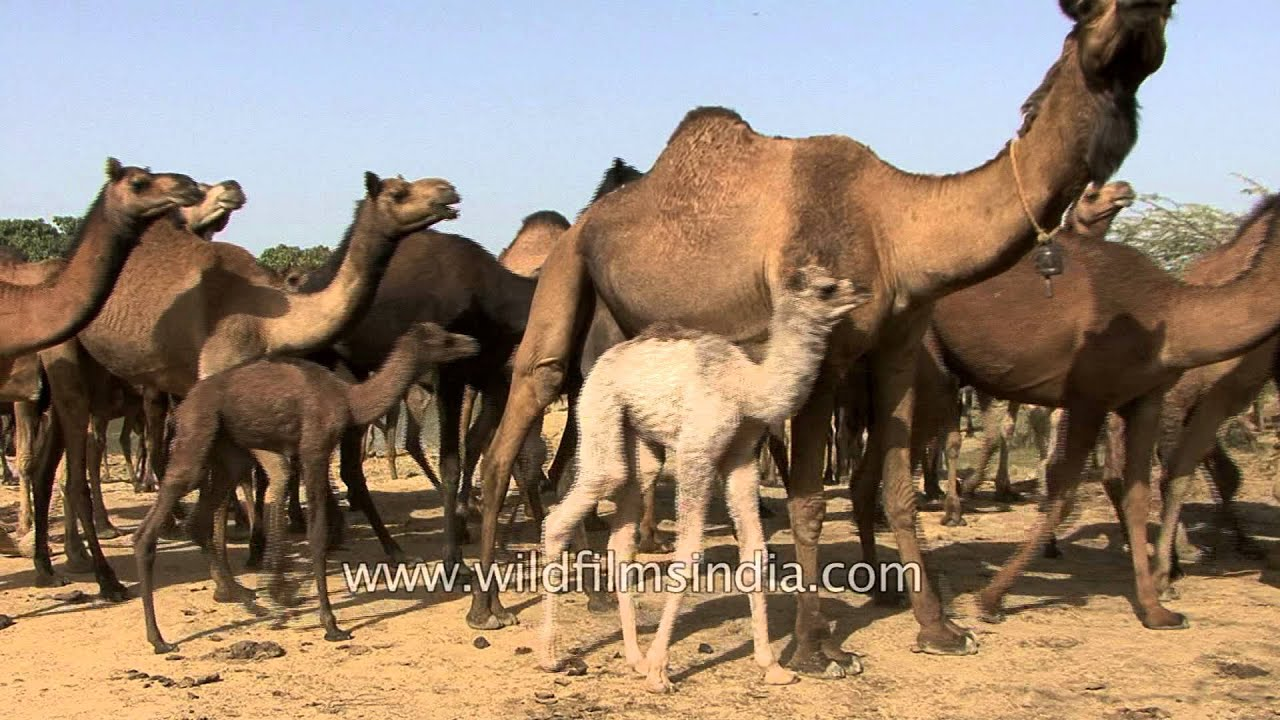 Camels depart on a desert journey - Kutch, Gujarat
