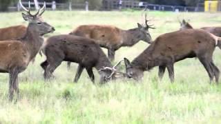Richmond Park Deer Rut 2015