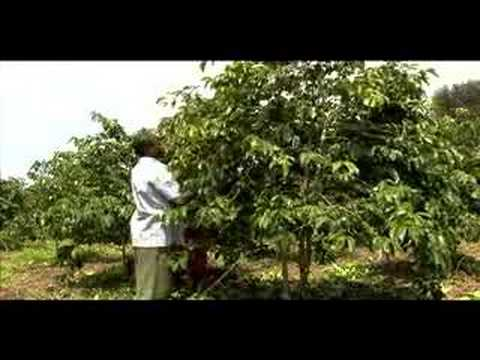 Handling and Pruning Coffee Trees