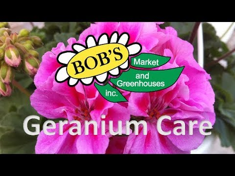 How-To Grow Geraniums (Pelargonium)