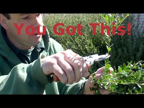Prune Japanese Holly (Ilex crenata) Selectively V2.0