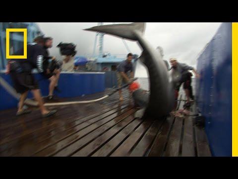 A Fighting Tiger | Shark Men