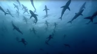 Thousands of sharks visit a sea mount - Blue Planet: A Natural History of the Oceans - BBC