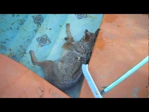 Coyote fights for life in Swimming pool