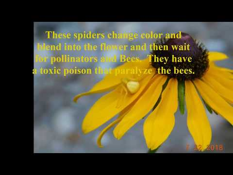 Flower Spiders are Back July 22, 2018  Growing Marijuana for Fun & Relaxation