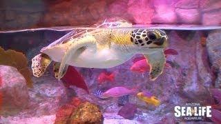 """Sea Turtle """"Frye"""" arrives at SEA LIFE Arizona"""