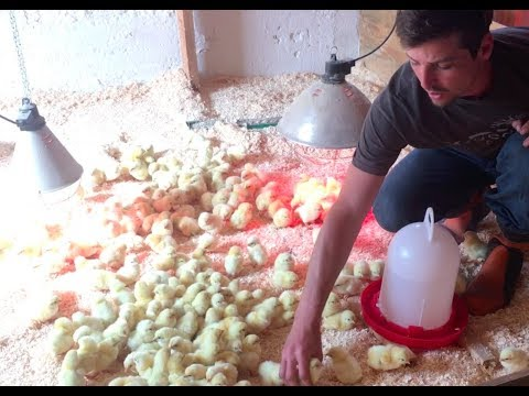 S5 ● E31 Introducing 1000 Day Old Chicks to the brooder