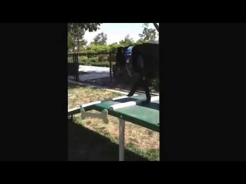 Dog climbing ramp off leash
