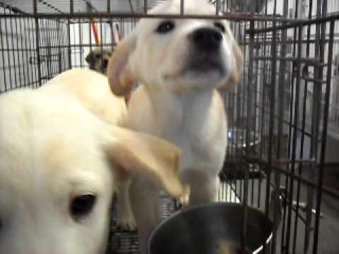 Meet Deena a Retriever, Labrador currently available for adoption at Petango.com! 3/1/2011 4:42:39 P