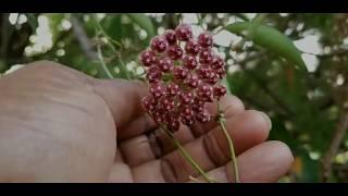 Very Beautiful Hoya Wayetii Blooms