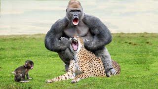OMG! Leopard Catch Baby Gorilla While Mother Gorilla Hunting Impala – Snake vs Mongoose, Crocodile