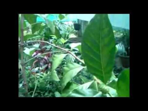 Video on Noni plant !!!