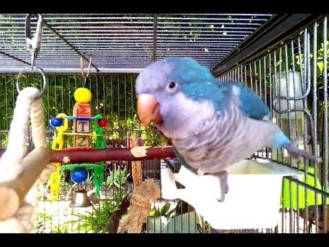 Joe the Quaker Parrot Talking About his Apple ♥