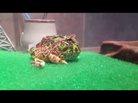Pacman Frog Eating Cricket