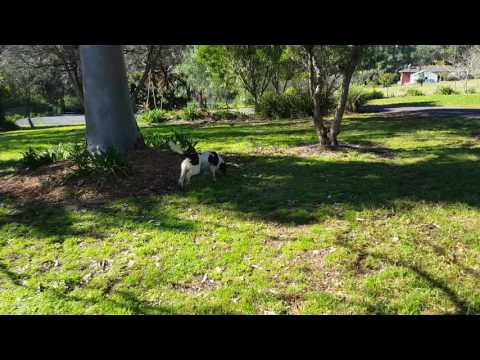 15 months old Conner trains on a new scent - Alligator Weed
