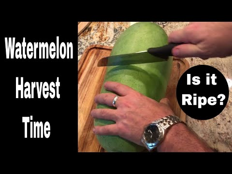 Growing Watermelons From Seed, Harvest Episode