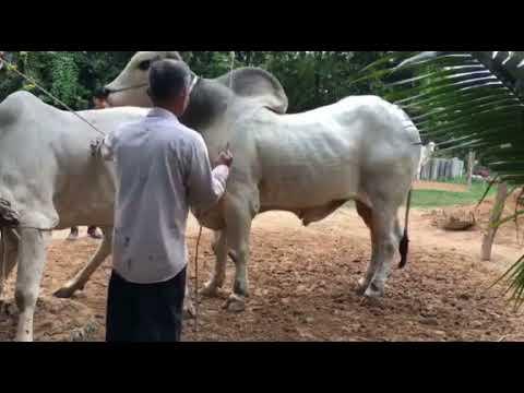 Xxx Mp4 Strong Cow Breeding 3gp Sex