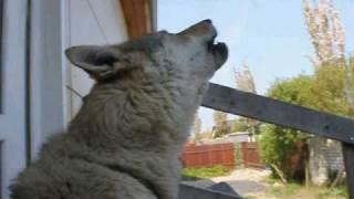 CS Wolfdog Howling