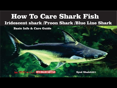 Care of Aquarium Shark About feeding and Maintenance Care Tips for Iridescent Shark fish