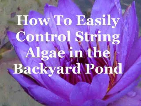 How To Easily Control String Algae in the Backyard Pond