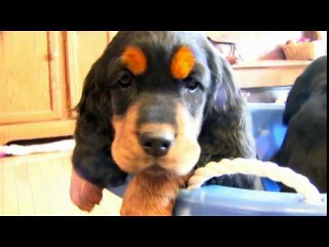 Dog Breeds - Gordon Setter. Dogs 101 Animal Planet