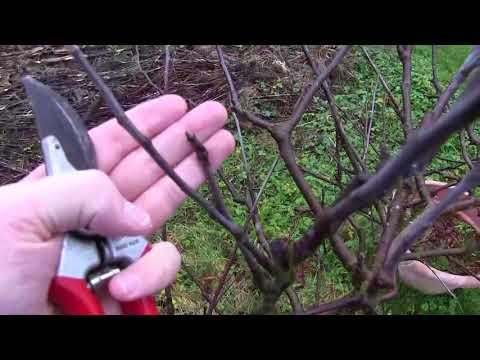 Pruning Espalier Apple Trees