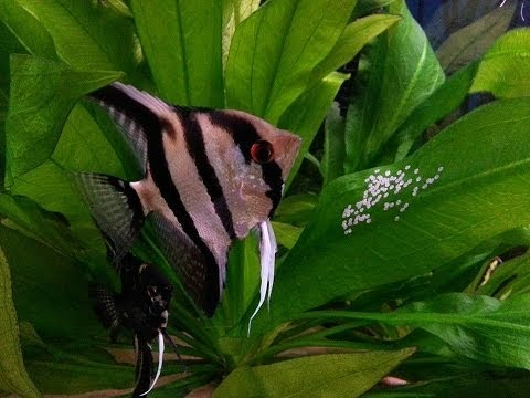 How To Breed Angelfish Plus Raise Fry
