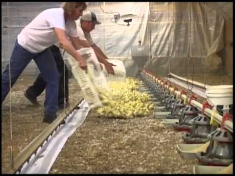 Placing 20,000 Chicks in a Chicken Barn