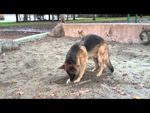 Dunder and Munster go wild at the park! German Shepherd and Rat Terrier