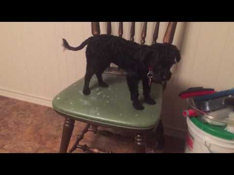Gidget poodle having problems getting off the chair for 4 minutes.