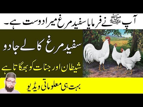 Rooster Crowing Benefits In The Morning-White Rooster In Islam-Kala Jadu Ka Tor Or Jinnat Sy Hifazat