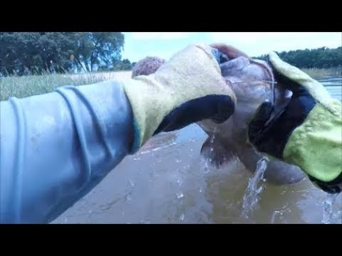 Catfish Noodling (Catching Fish Bare Handed)