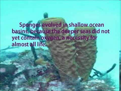 Evolution of Sea Sponges