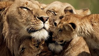 The Strongest LION PRIDE in Luangwa Valley - National Geographic Documentary 2020 (Full HD 1080p)