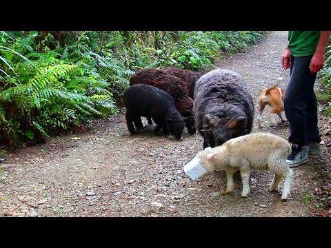 Angry Ram family update October 2015
