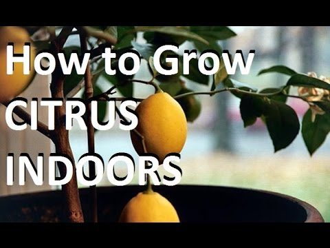 How to Grow Citrus Trees Indoors EASY! - Complete growing guide