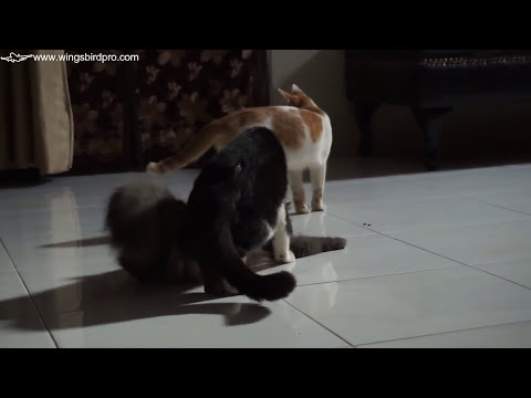 Angora Cat vs Persian Cat Mate