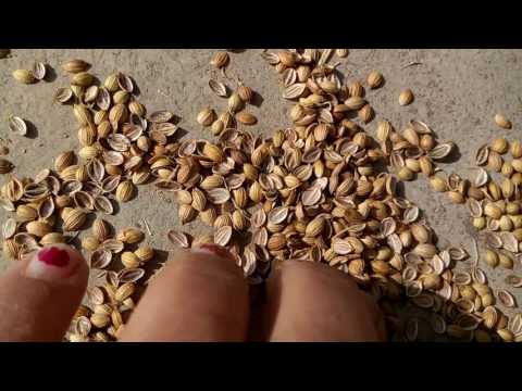 189 - How to grow Coriander /Dhania/Cilantro /Chinese Parsley (Hindi /Urdu) 7 /11/16