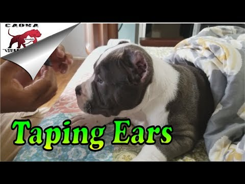 American Bully: How We Post and Tape Cropped Ears