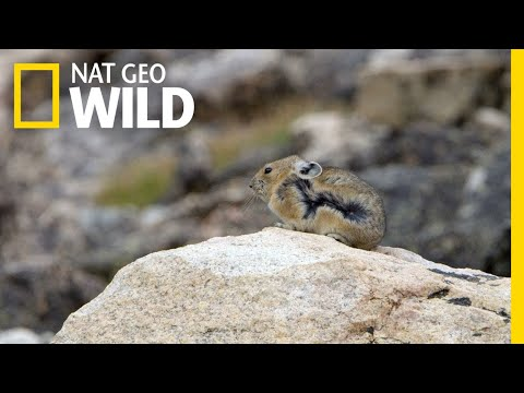 The Pika is Quick and Elusive | America the Beautiful
