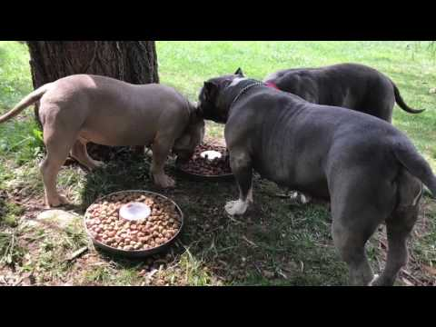 How to feed My American Bully