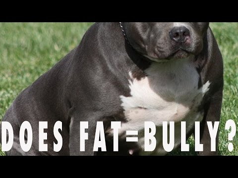 IS YOUR BULLY DOG TOO FAT???