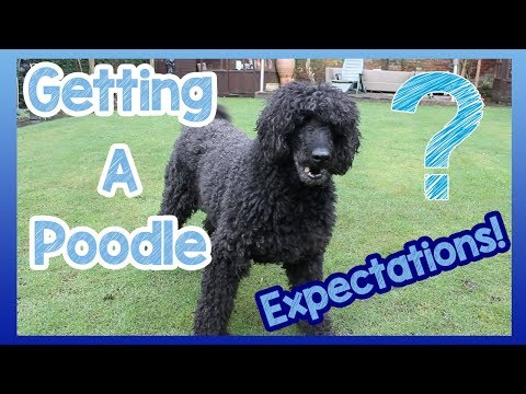What to Expect When Getting a Poodle! 6 Things to Expect When You Get a Poodle Breed Dog!