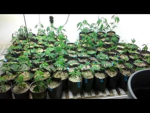 Mothers, clones, teens, vegetative growth room /  nursery